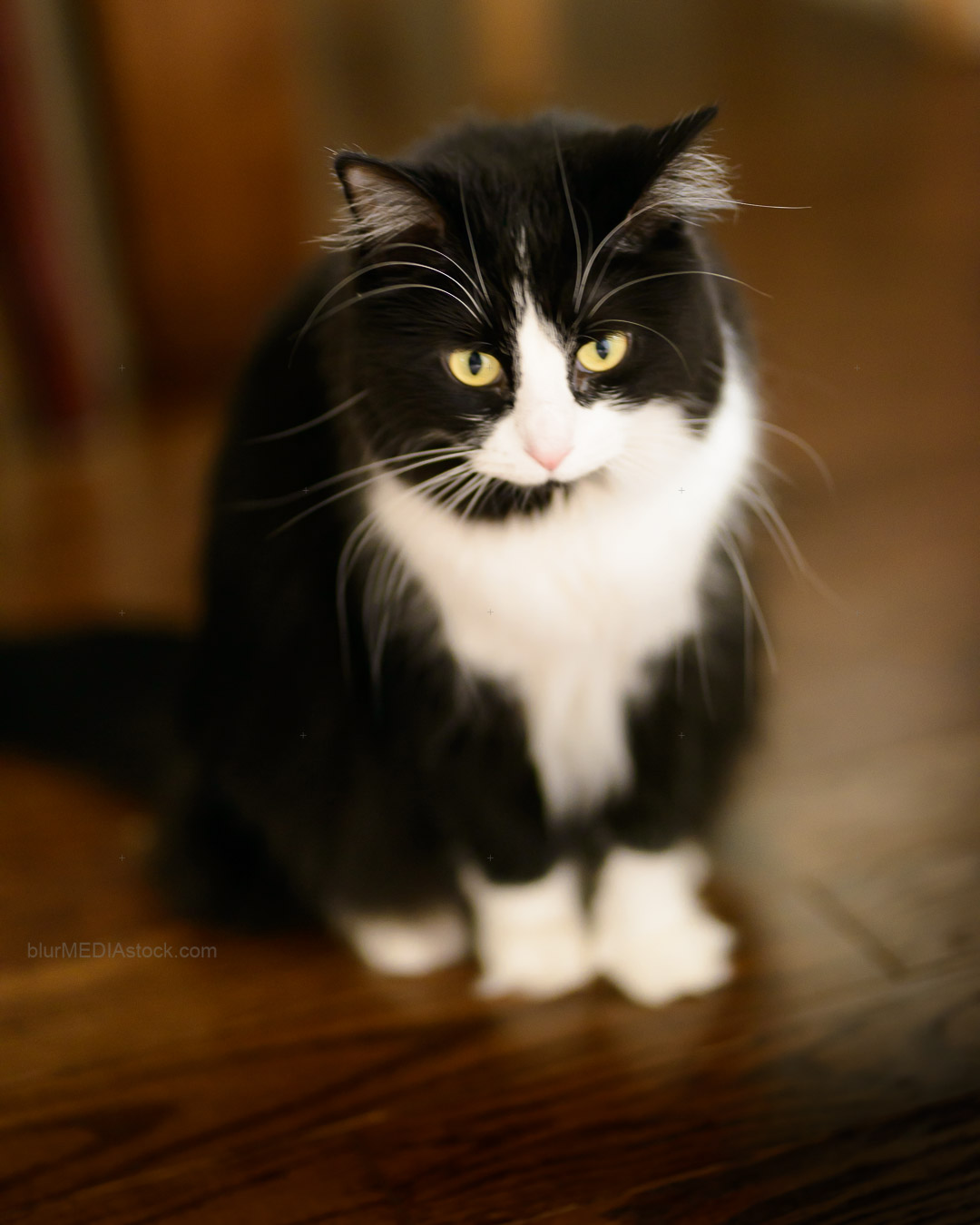 Black and white cat sitting on a wood floor